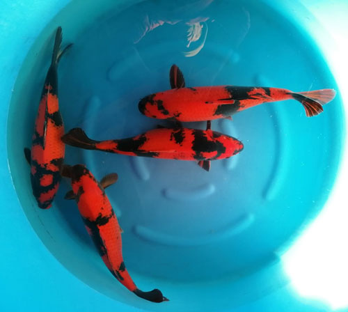 Koi purchased for 2021
